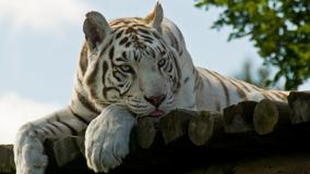 White Tiger Laying Face Closeup