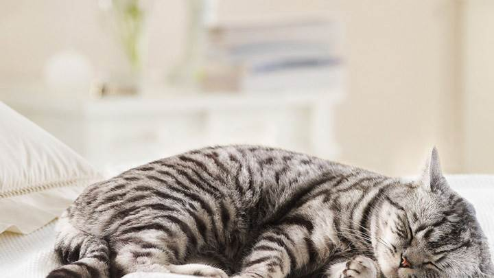 Zebra Like Cat Sleeping On A Bed