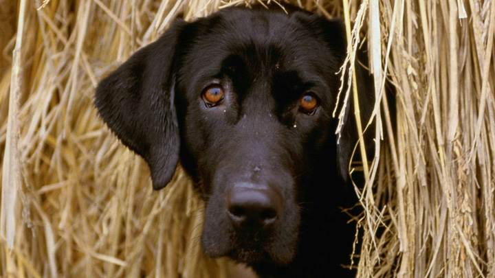 Black Dog Hiding In The Hay