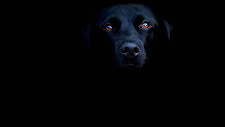 Black Labrador Face Closeup On Black Background