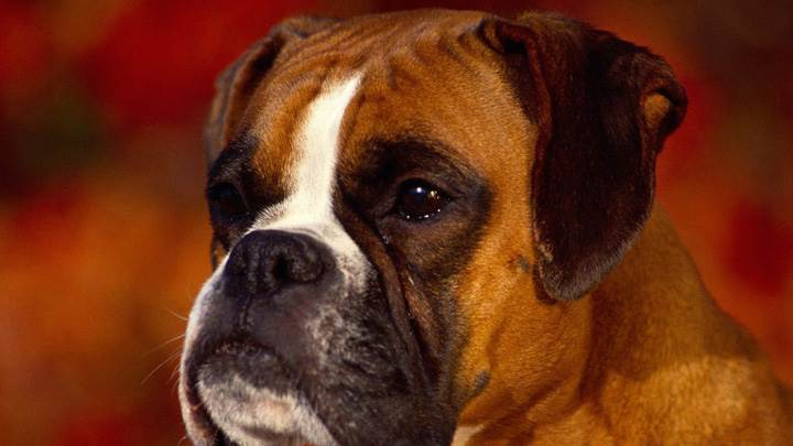 Brown Boxer Face Closeup