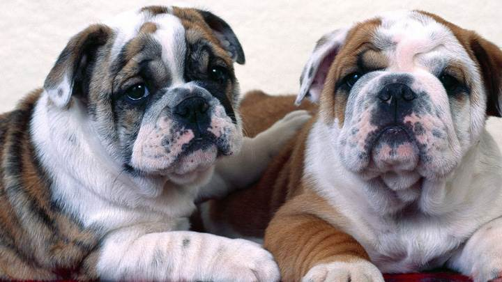 Bulldog Buddies Sitting Together