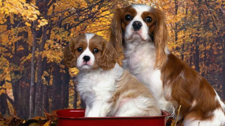 Cavalier King Charles Spaniel Mom And Pup