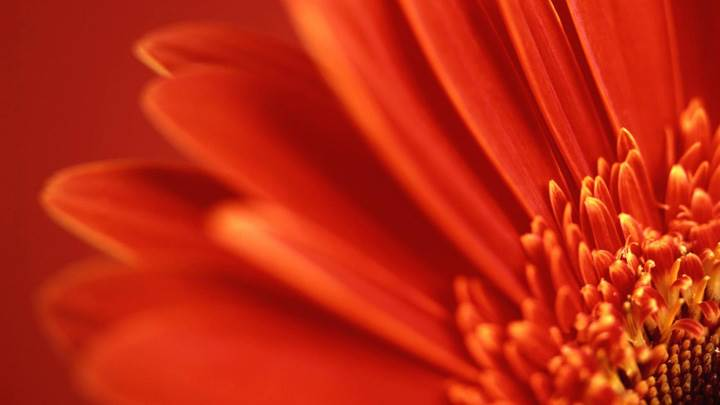 Closeup Of Red Gerbera Daisy