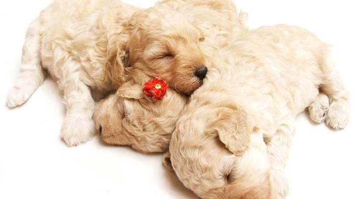 Cute Sleeping White-Golden Puppies