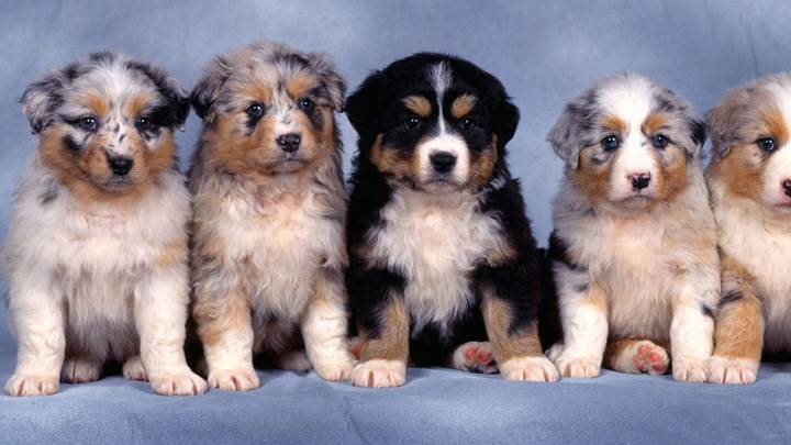 Fluffy Five, Shepherd Puppies
