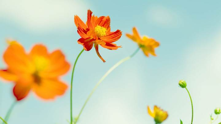 Fresh Orange Cosmos Flowers