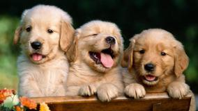 Friends Forever, Golden Retriever Puppies