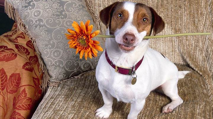 Good Dog, Jack Russell Terrier