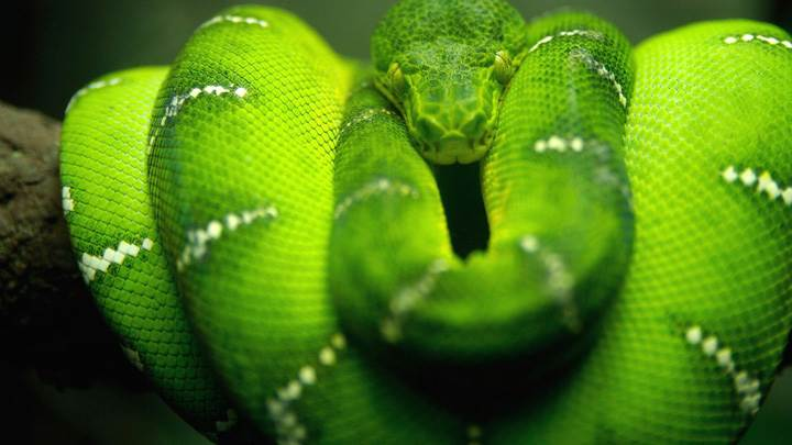 Green Snake Closeup