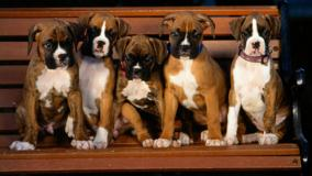 Group Of Boxer Puppies Sitting On A Bench