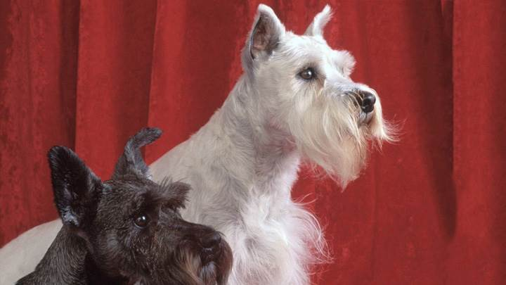 Kat And Georgie, Miniature Schnauzers