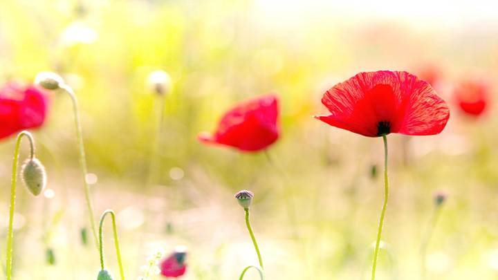 Red Poppy Flowers Closeup