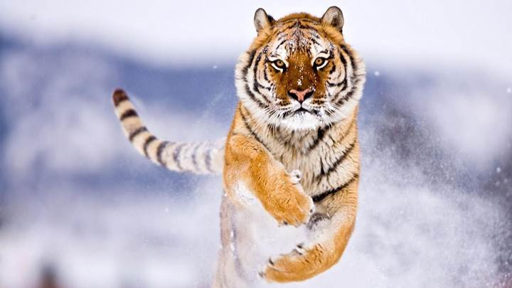 Running Tiger Looking Dangrous Front Pose