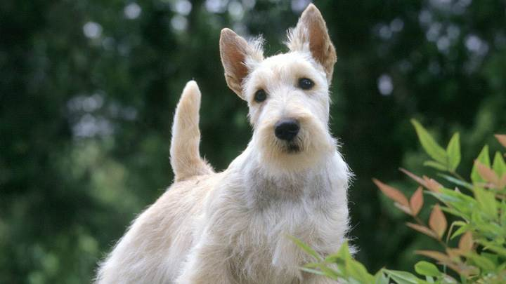 Samari, Scottish Terrier, Wheaten Color
