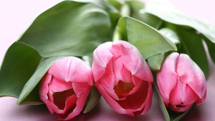 Three Pink Tulips Flowers