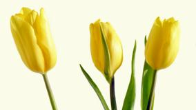 Three Yellow Tulips And White Background