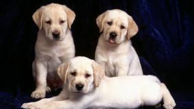 Trinity, Labrador Puppies