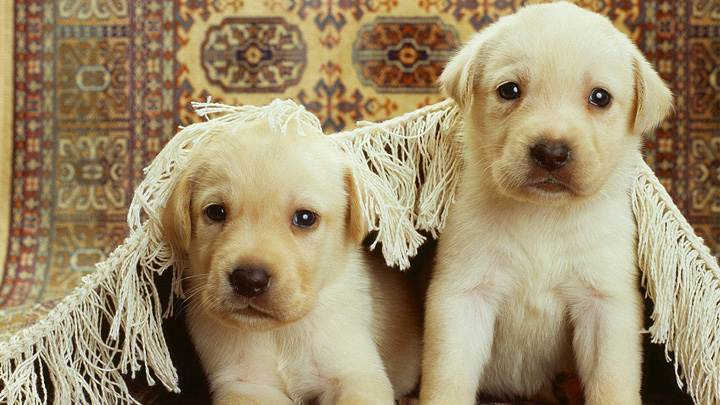 Two Cute Whites Labra Pups