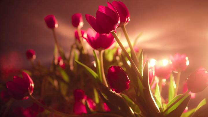 Vibrant Red Tulips In SunLight
