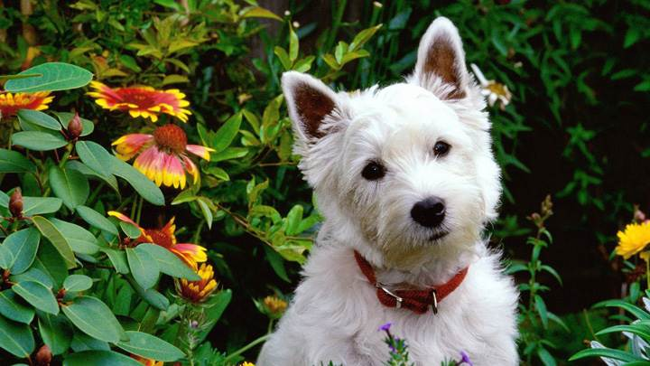 West Highland Terrier In Garden