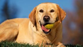 Yellow Labrador With Tennis Ball In Mouth
