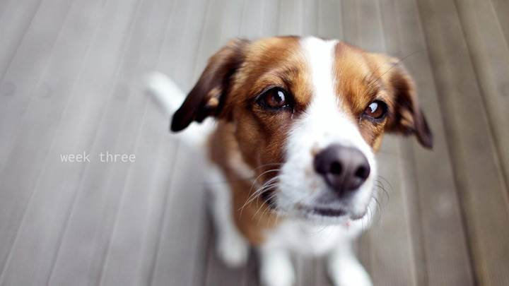 Cute Brown White Puppy Looking At Camera Wallpaper