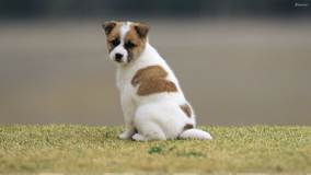 Sweet White Brown Puppy Looking Back