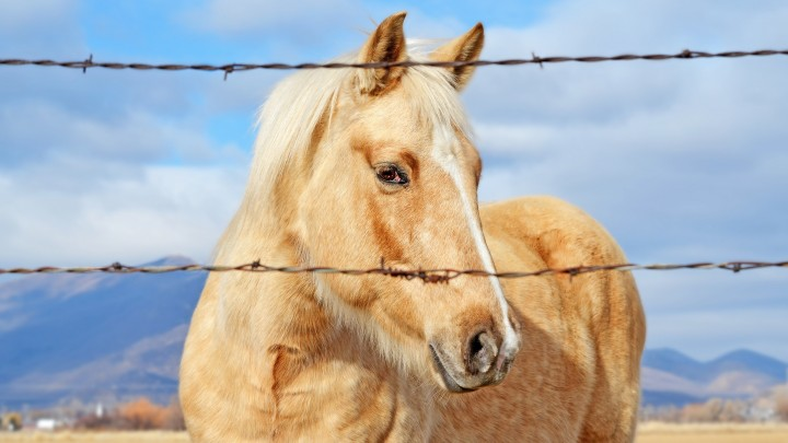 A Beautiful Golden Horse Behind The Fence Wires