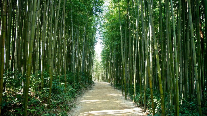 Road Through A Bamboo Forest In Korea