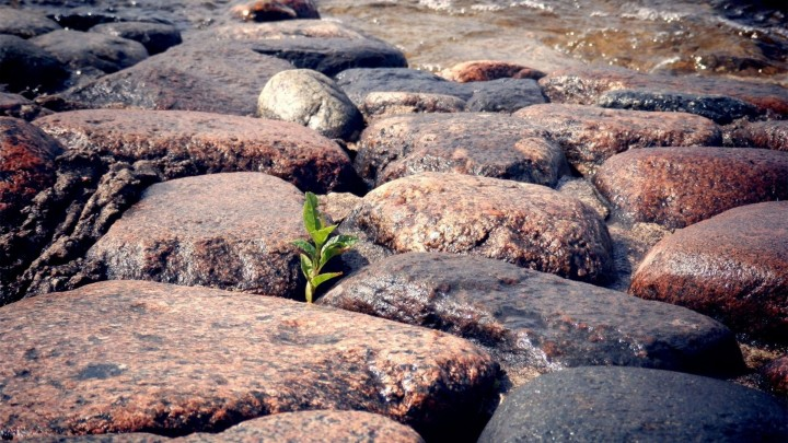 Plant Growing Through Beach Rocks