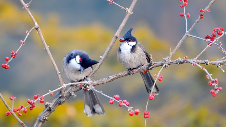 Red-whiskered Bulbul Bird Sittin On A Tree Branch